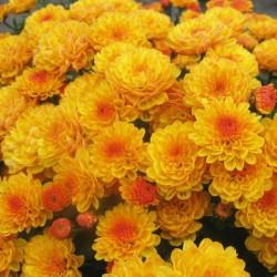 Хризантема Джиджи Голд