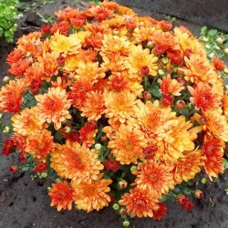 Хризантема Джиджи Оранж