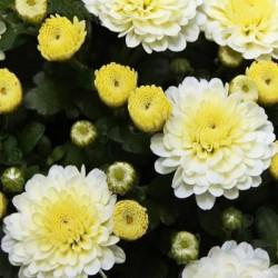 Хризантема Джиджи Сноу