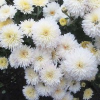 Хризантема Ивона