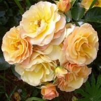 Роза канадская Ругельда (ОКС)