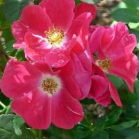 Роза канадская Уильям Бут