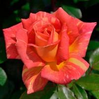 Роза чайно-гибридная Карибия