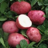 Картофель семенной Беллароза
