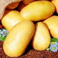 Картофель семенной Голубизна