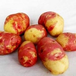 Картофель семенной Пикассо