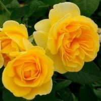 Роза флорибунда Карт д'Ор