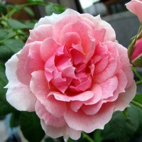 Роза плетистая Кир Роял