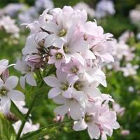 Колокольчик молочноцветковый Лоддон Анна