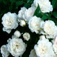 Роза почвопокровная Кристал Фэйри