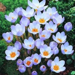 Крокус ботанический Блу Перл
