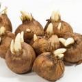 Луковицы крокусов
