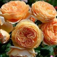 Роза английская Кроун Принцесс Маргарита