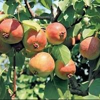 Яблоня Лада