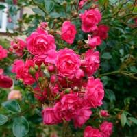 Роза почвопокровная Лавли Фэйри