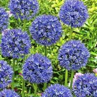 Лук декоративный голубой