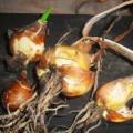 Луковицы лука декоративного