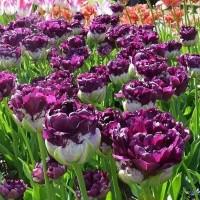 Тюльпаны махровые поздние (луковицы)
