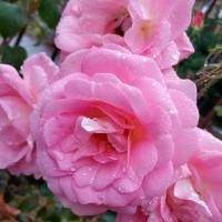Роза шраб Мари Викторин