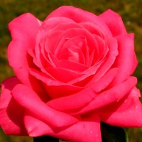 Роза чайно-гибридная Мария Каллас