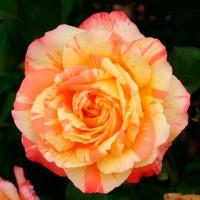 Роза чайно-гибридная Марвел