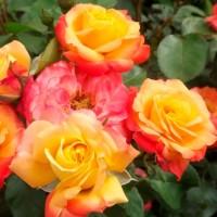 Флорибунда розы (ОКС)