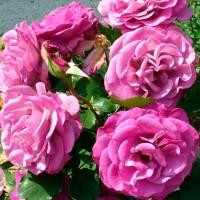 Роза чайно-гибридная Мелоди Парфюм