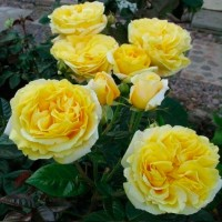 Роза чайно-гибридная Микеланджело