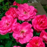 Роза шраб Морден Сентенниал