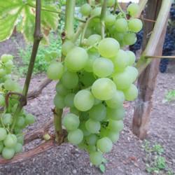 Виноград Мускат белый Шатилова
