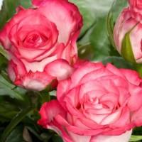 Роза чайно-гибридная Н-Джой
