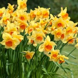 Нарциссы крупнокорончатые (луковицы)