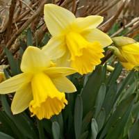 Нарциссы трубчатые (луковицы)
