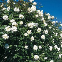 Плетистые розы (ОКС)