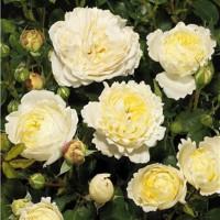 Роза почвопокровная Нина Поулсен