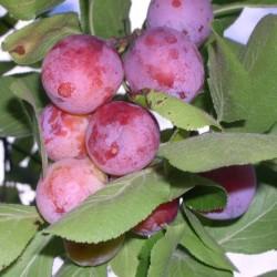 СВГ(сливово-вишневый гибрид) Опата