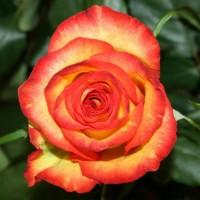 Роза чайно-гибридная Хай Оранж Мэджик