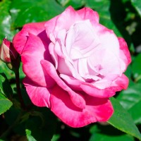 Роза чайно-гибридная Парадиз