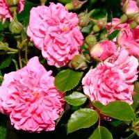 Роза шраб Пинк Свани