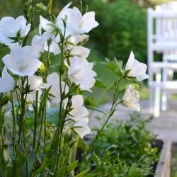 Платикодон крупноцветковый Фуджи Вайт