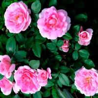 Роза шраб Прейри джой