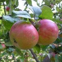 Яблоня Приземленное карликовая