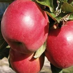 Яблоня Ранняя Красная