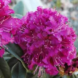 Рододендрон Пурпуреум Грандифлорум