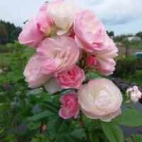 Роза мускусная Буке Парфэ