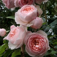 Роза английская Херитейдж