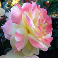 Роза чайно-гибридная Катрин Лаборде