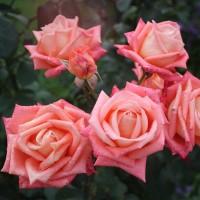 Роза чайно-гибридная Конигин дер Розен
