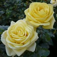 Роза чайно-гибридная Кронос