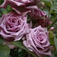 Роза чайно-гибридная Майнцер Фастнахт